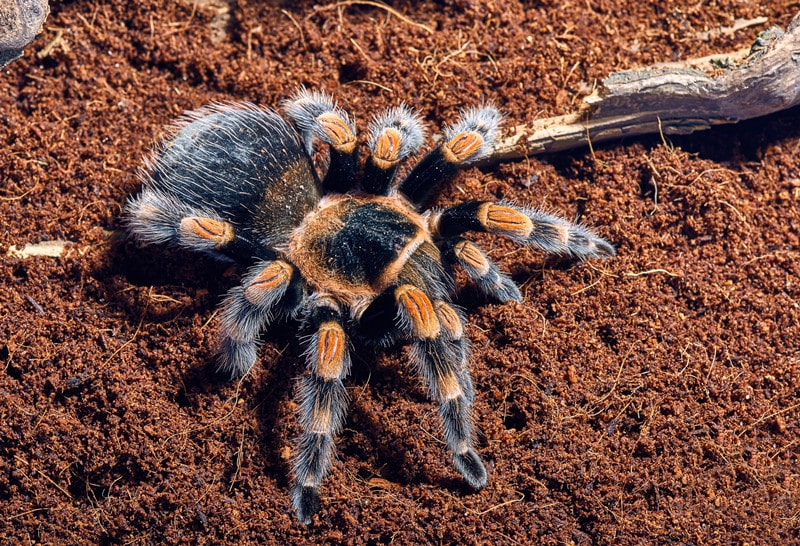 What You Need to Know About Mexican Red-Knee Tarantulas as Pets