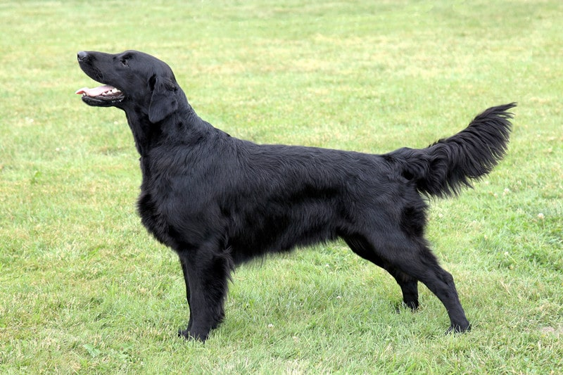 What is a Black Golden Retriever