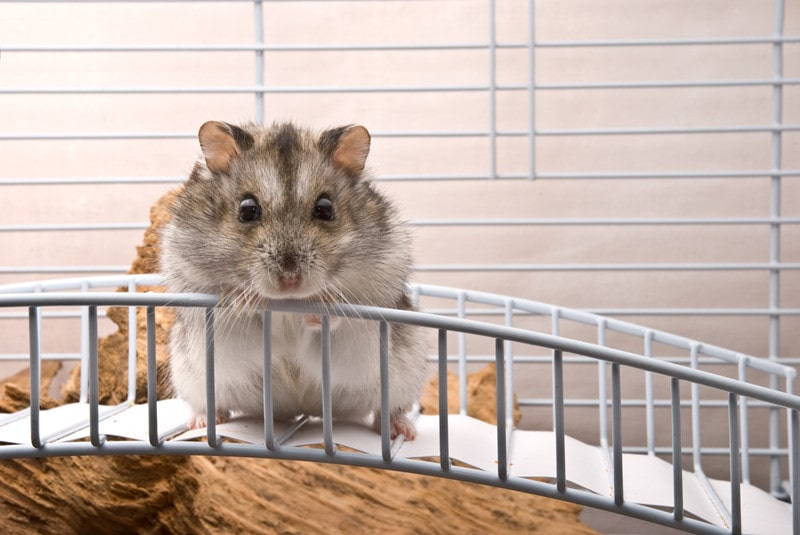Winter White Dwarf Hamsters as Pets-Everything You Need to Know