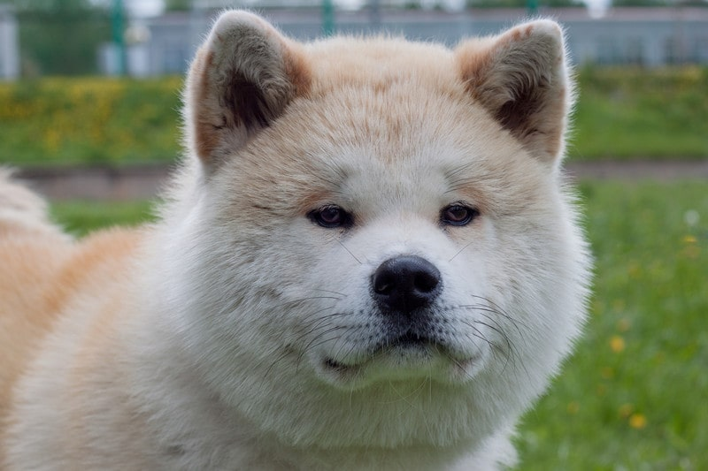Akita Temperament: What's it Like Owning One?