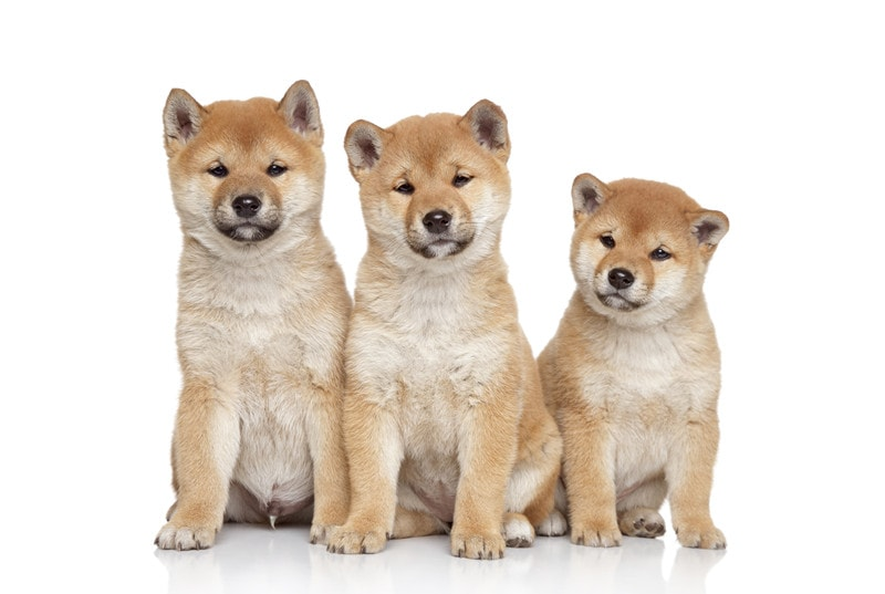 Best Age to Breed a New Shiba Inu