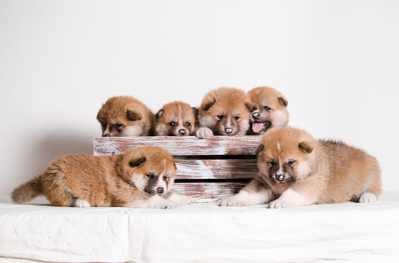 How Long Do Akitas Reproduce