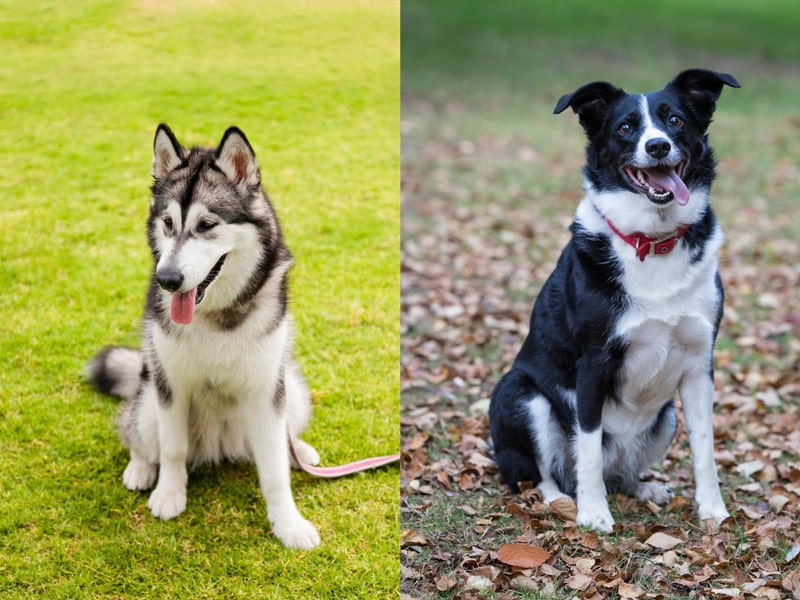 Alaskan Malamute Border Collie Mix
