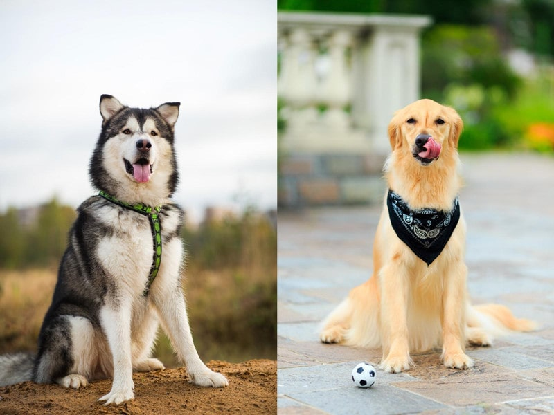 Alaskan Malamute Golden Retriever Mix-Everything You Need to Know