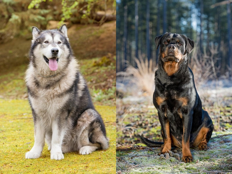 Alaskan Malamute Rottweiler Mix