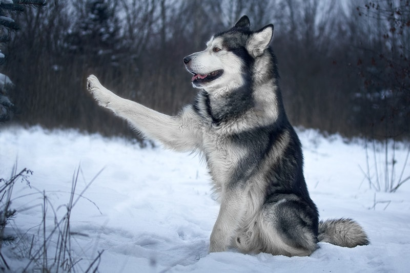 Are Alaskan Malamutes Easy to Train