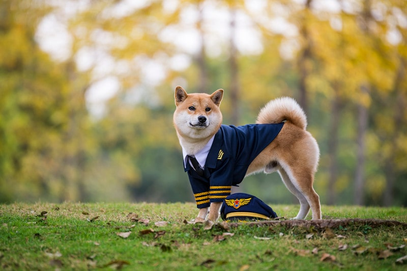 Are Shiba Inus Good Service Dogs