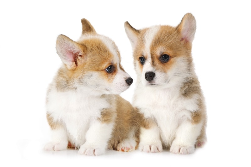 Best Age to Breed A New Corgi