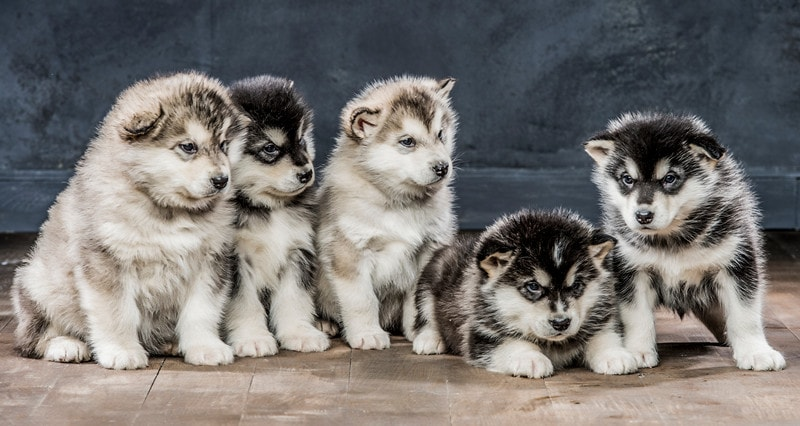 Best Age to Breed a New Alaskan Malamute