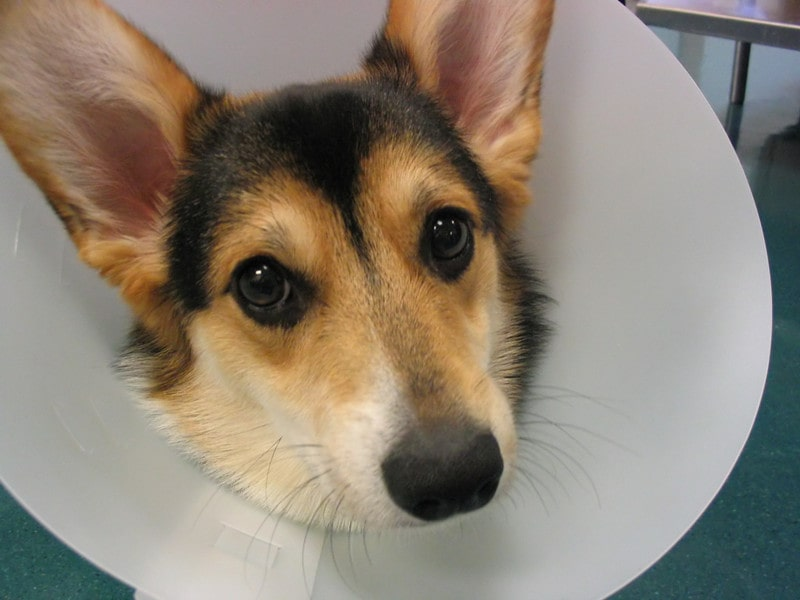 Best Age to Spay/Neuter a Corgi