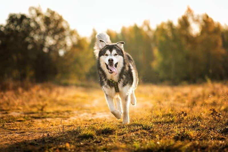 Can Alaskan Malamutes Run Long Distances