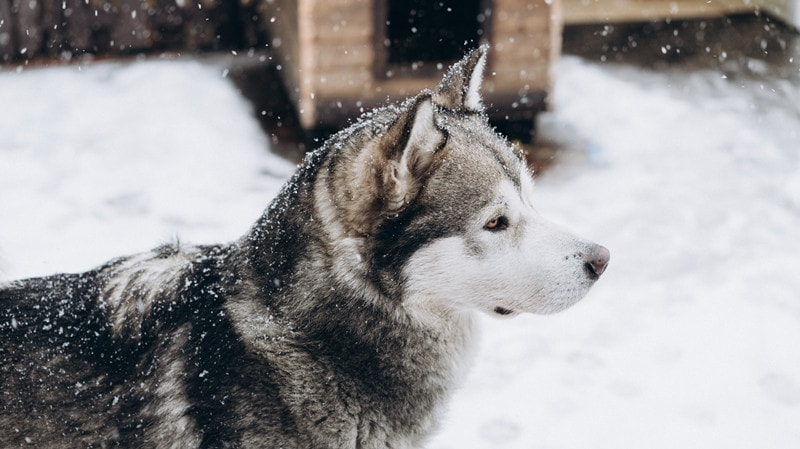 Can Alaskan Malamutes Stay Outside in The Cold