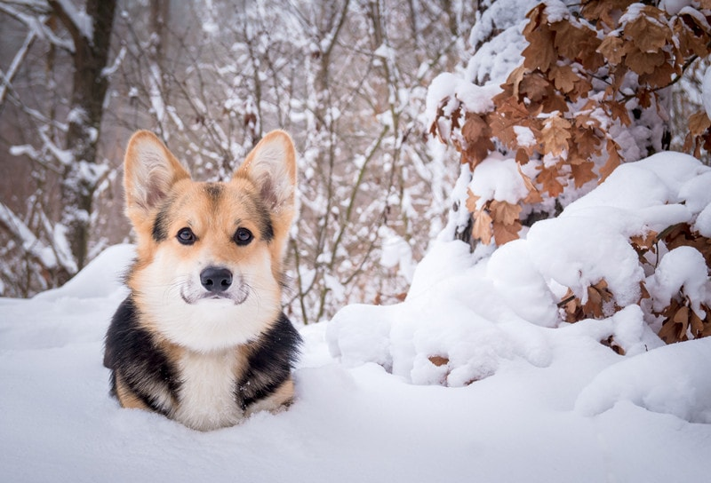 Can Corgis Stay Outside in The Cold