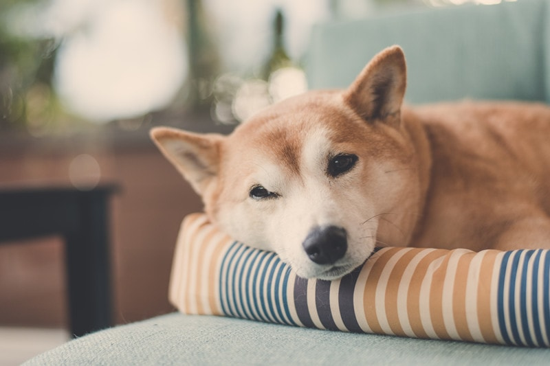 Can Shiba Inus Live in Apartments