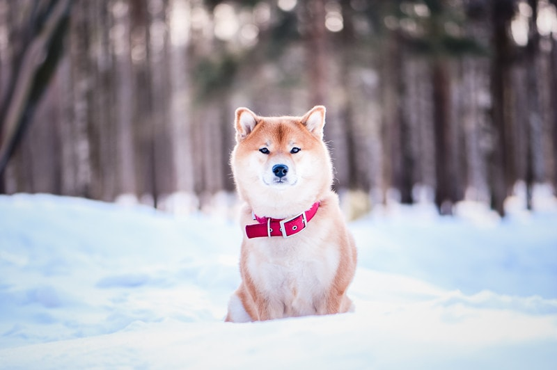 Can Shiba Inus Stay Outside in the Cold