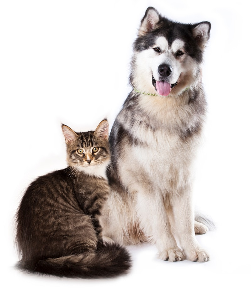 Do Alaskan Malamutes Get Along With Cats