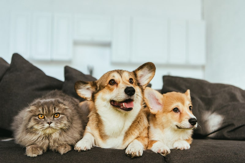 Do Corgi Get Along With Cats