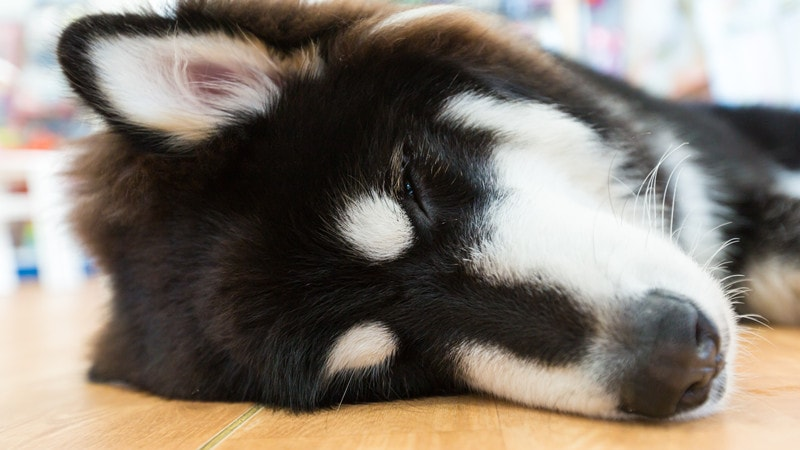How Much Sleep Should an Alaskan Malamute Have