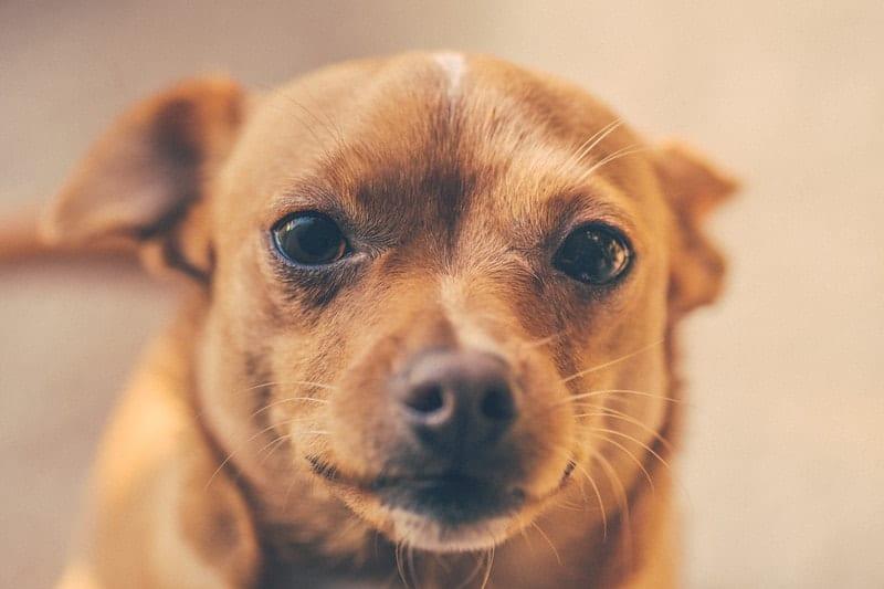 Shiba Inu Chihuahua Mix