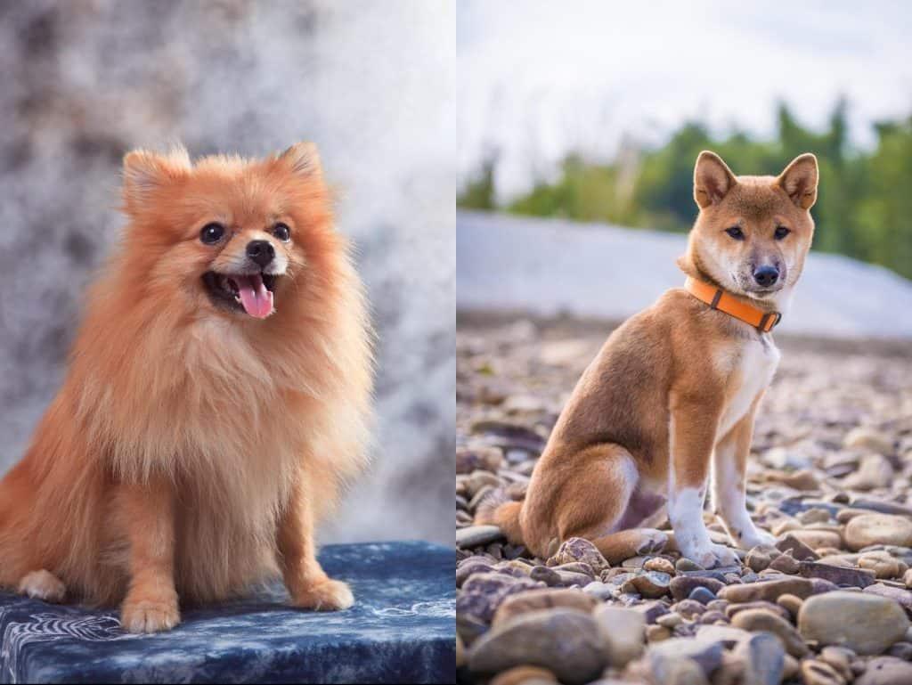 Shiba Inu/Pomeranian Mix