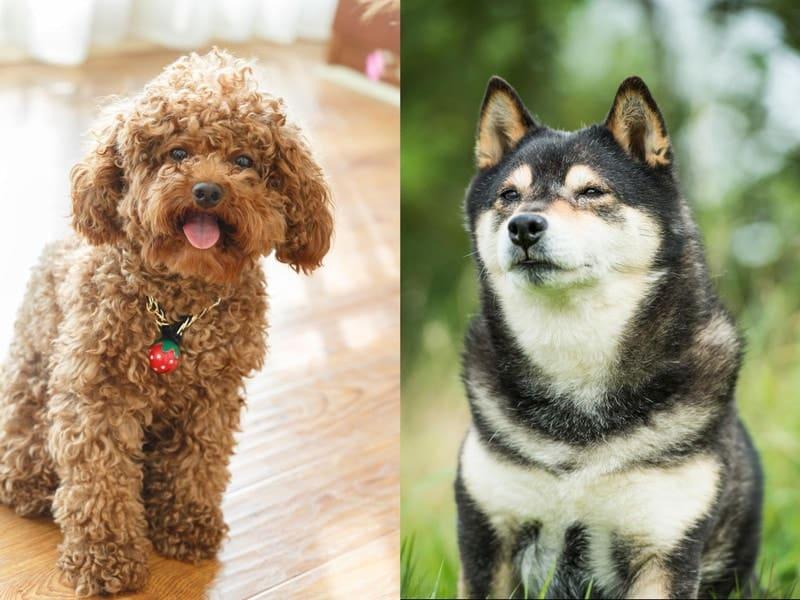Shiba Inu Poodle Mix