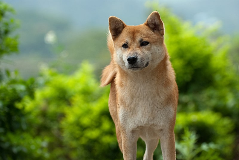 What Are Shiba Inus Bred For