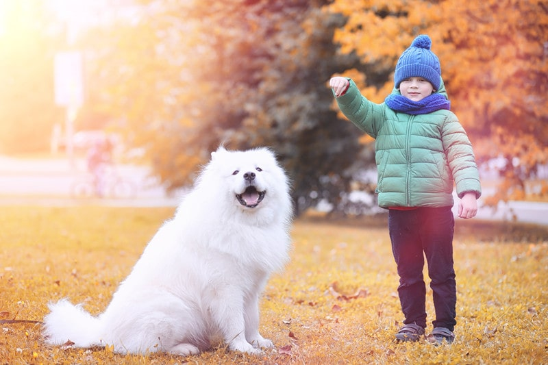Are Samoyeds Good Service Dogs