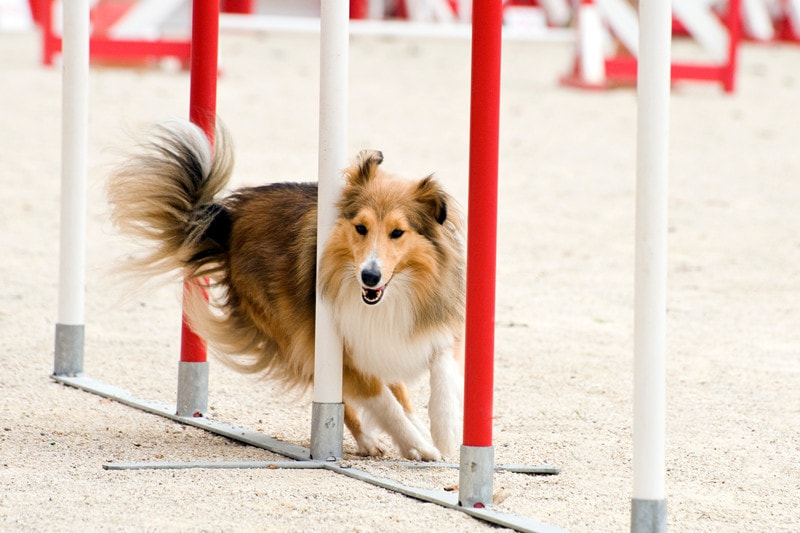 Are Shetland Sheepdogs Easy to Train