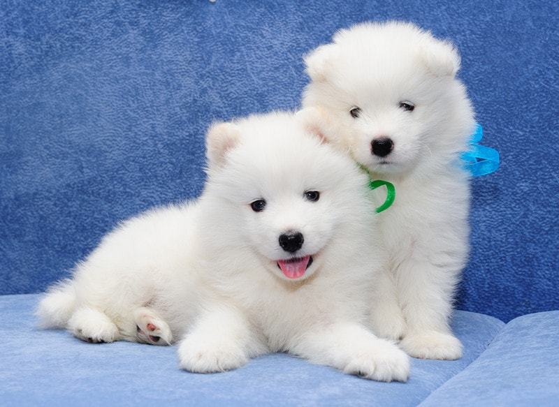 Best Age to Breed a New Samoyed