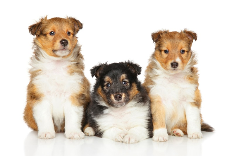 Best Age to Breed a New Shetland Sheepdog
