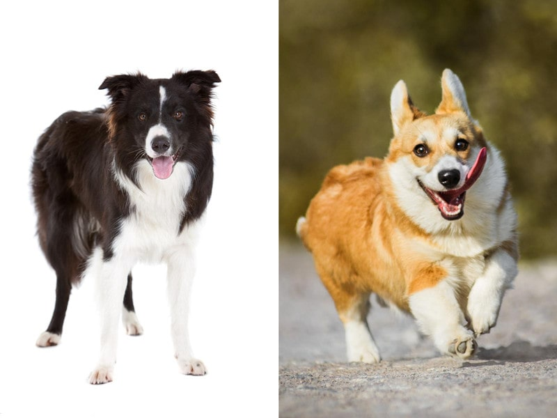 Border Collie Corgi Mix (Borgi)-Everything You Need to Know