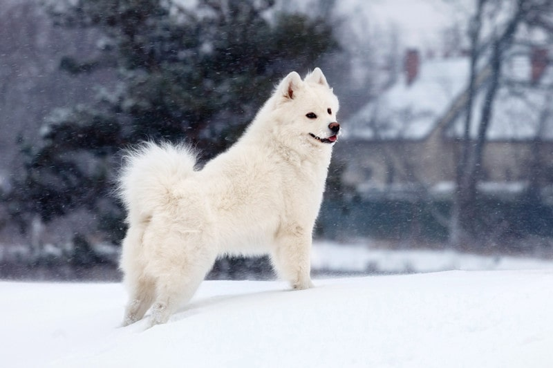Can Samoyeds Stay Outside in The Cold