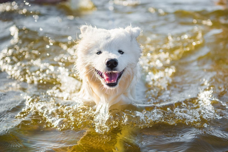 Can Samoyeds Swim