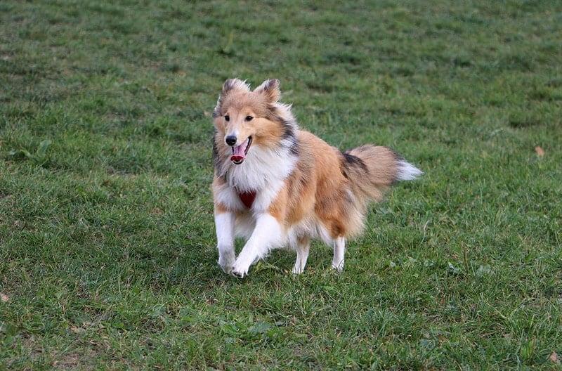 Can Shetland Sheepdogs Run Long Distances