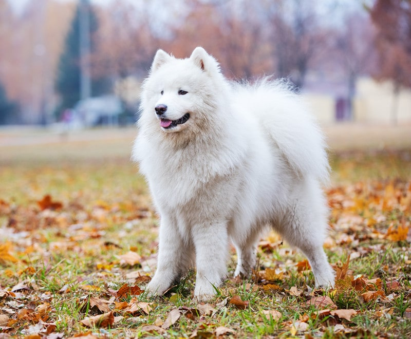 Choosing a Samoyed Mixed Breed: Which is Best for Your Home