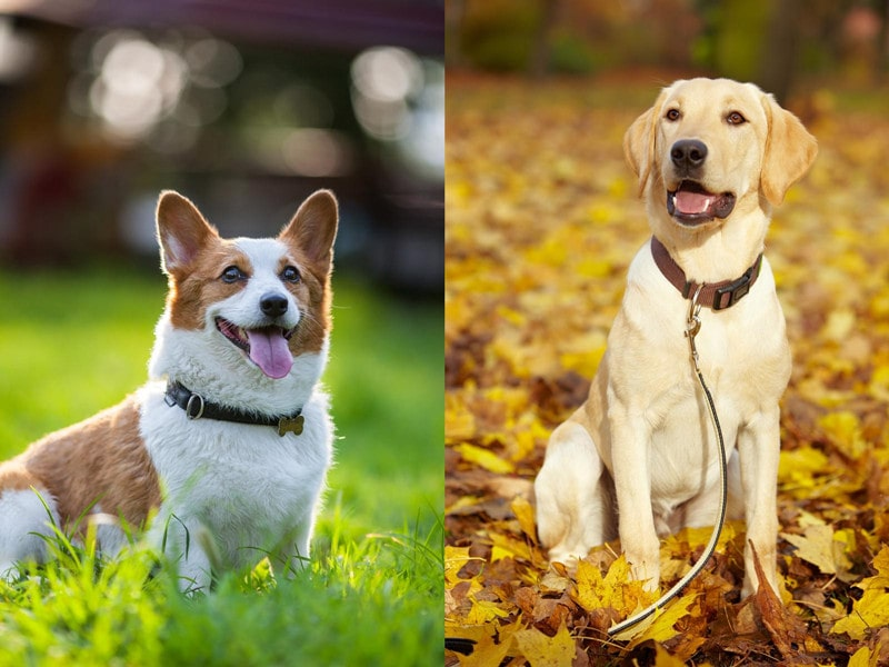 Corgi Lab Mix (Corgidor)-Everything You Need to Know