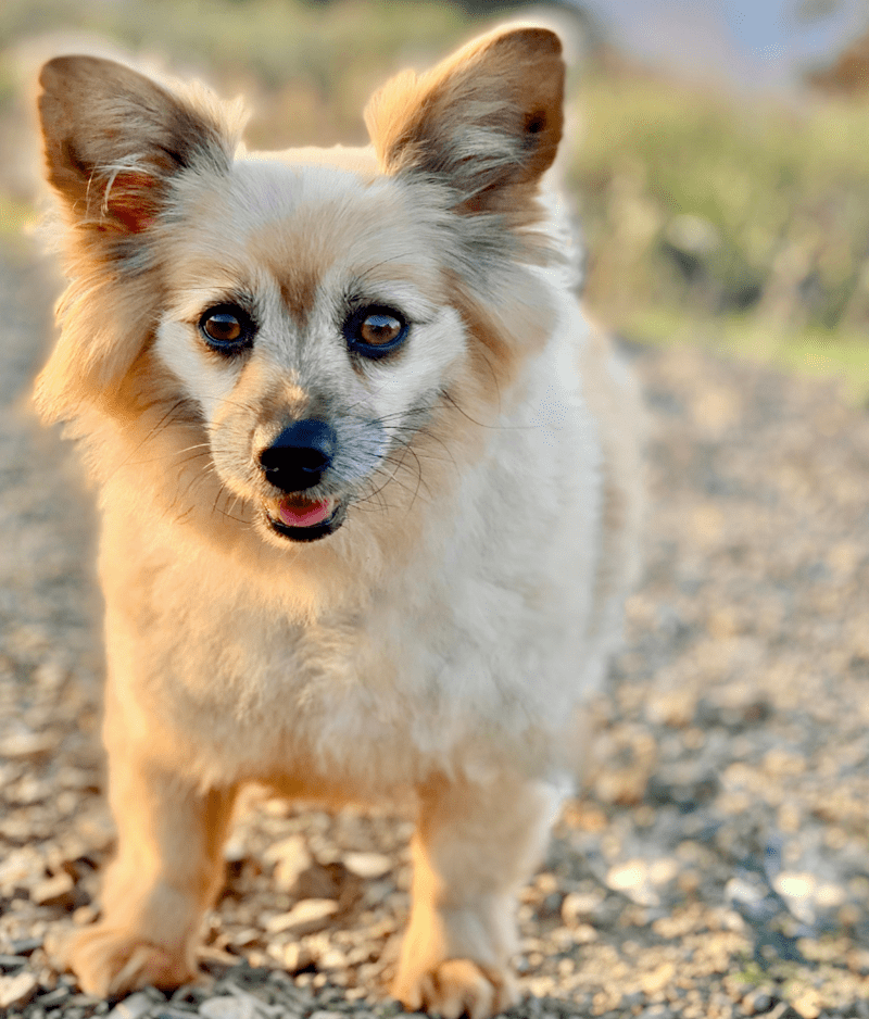 Corgi Pomeranian Mix-Everything You Need to Know