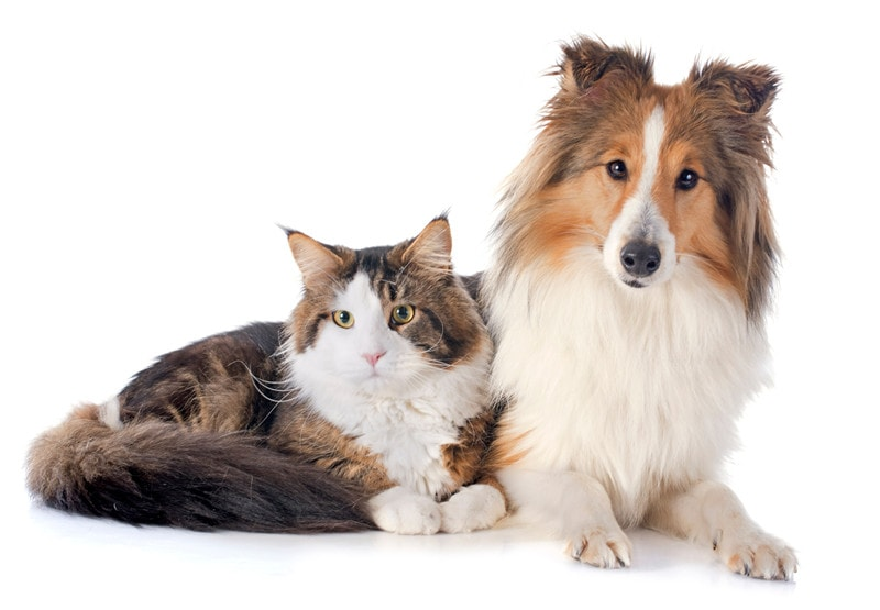 Do Shetland Sheepdogs Get Along With Cats