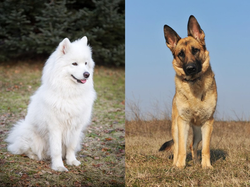 German Shepherd Samoyed Mix-Everything You Need to Know