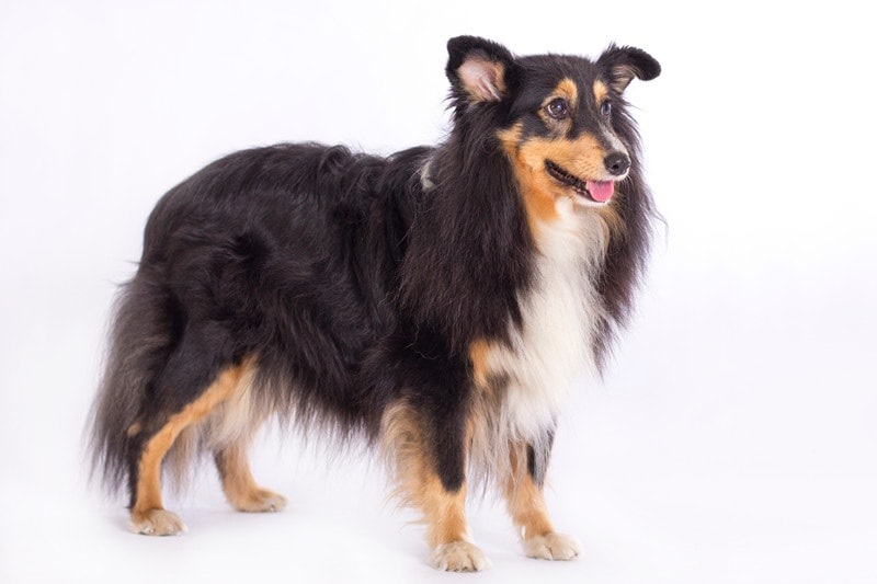 How Big Do Shetland Sheepdogs Get