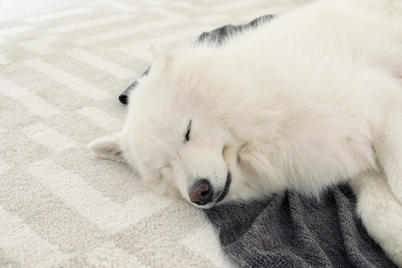 How Much Sleep Should a Samoyed Have