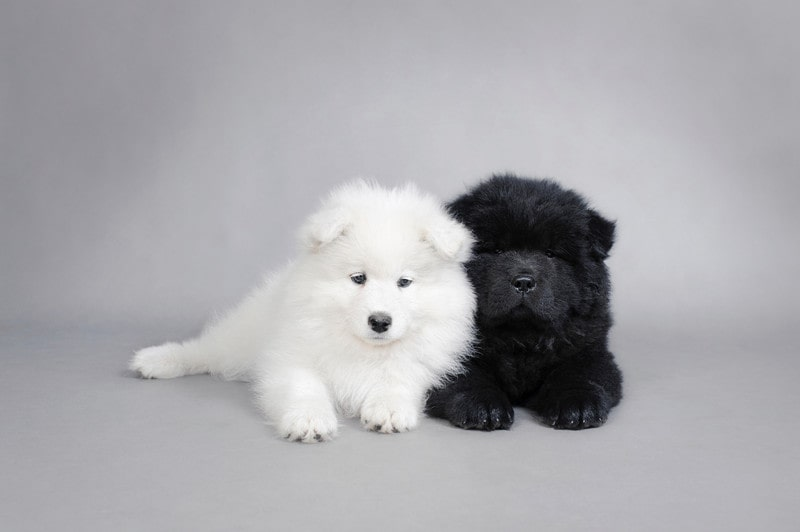 Samoyed Chow Mix–Everything You Need to Know