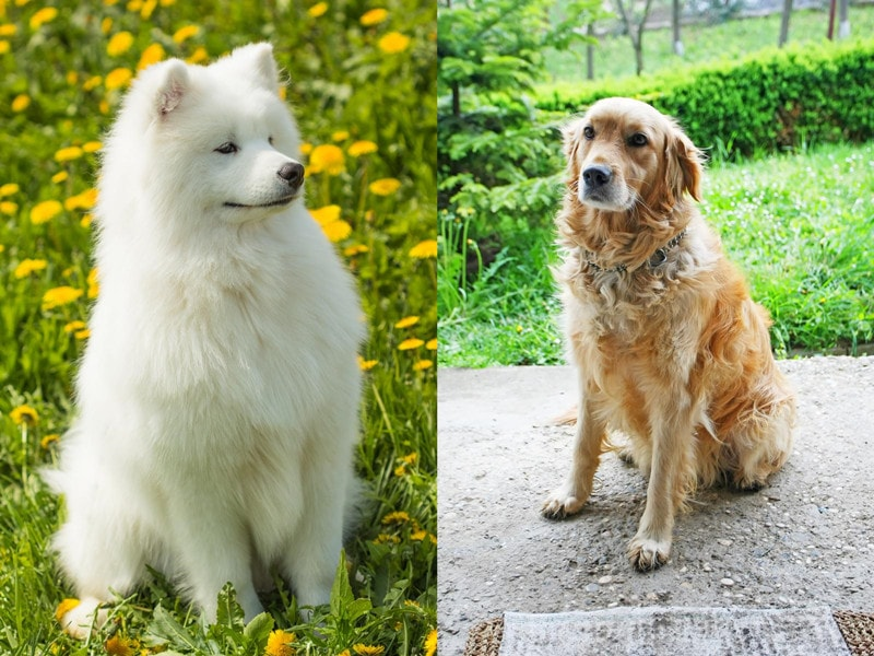 Samoyed Golden Retriever Mix-Everything You Need to Know