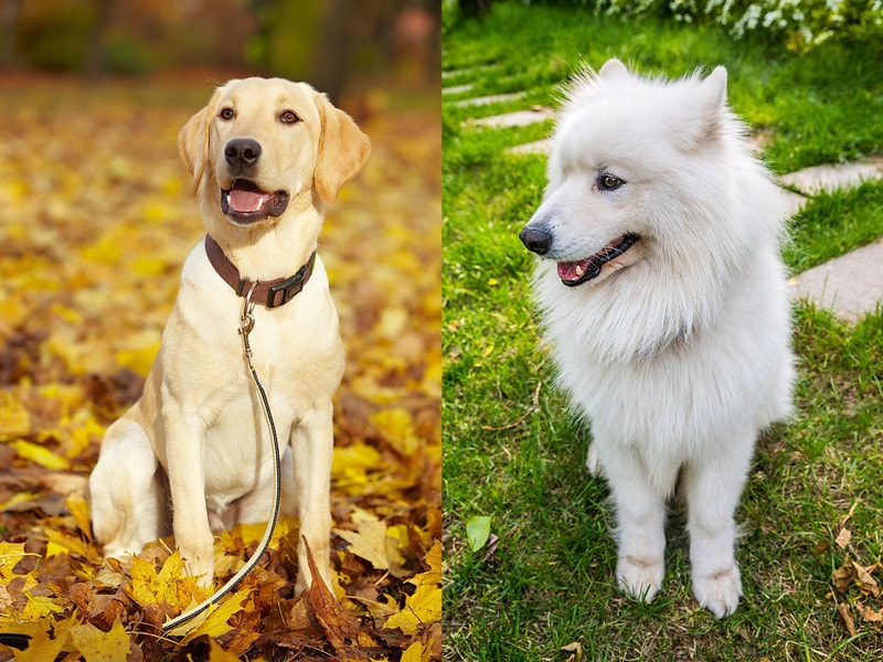 Samoyed Lab Mix-Everything You Need to Know