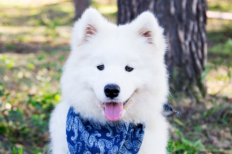 Samoyed Temperament: What's It's Like to Own A Samoyed