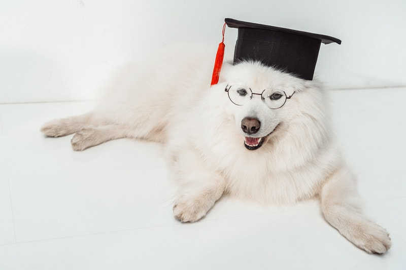 Samoyeds Intelligence: How Smart Are They