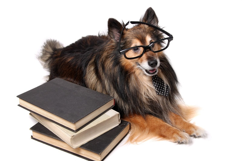 Shetland Sheepdogs Intelligence: How Smart Are They