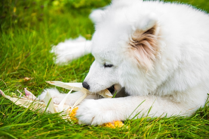 The Ultimate Guide to What Samoyeds Can (And Can't) Eat