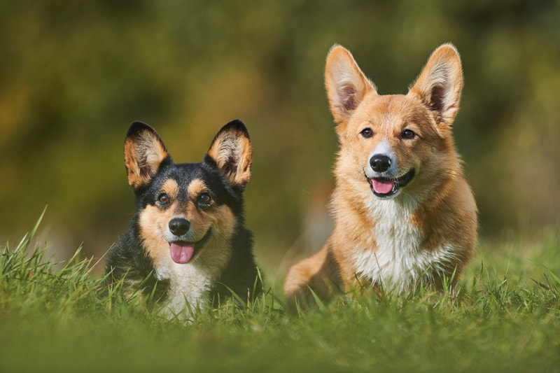 What Are Corgis Bred for