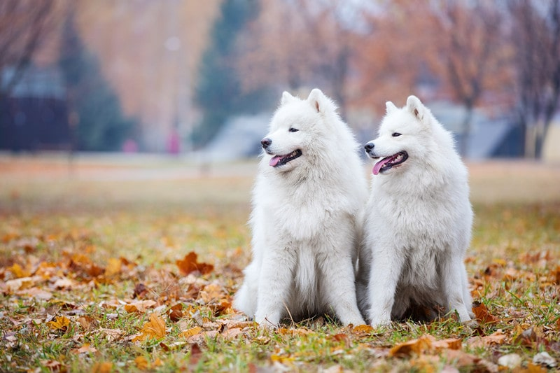 What Are Samoyeds Bred For